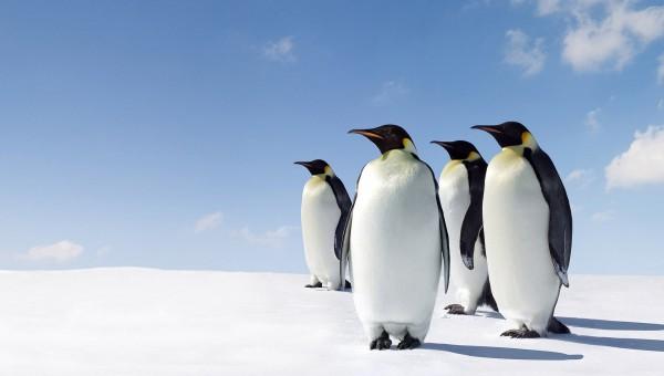 fonds-ecran-pingouin-3